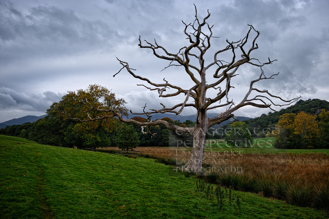 Standing Corpse of a tree Derwentwater