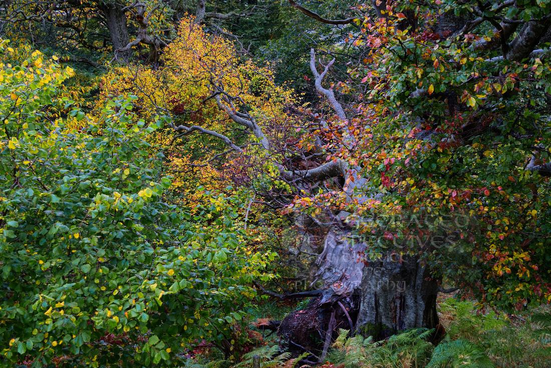 Heavy leaf fall Catbells